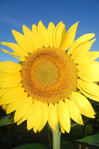 Big_sunflower
