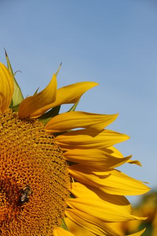 Big_sunflower_4
