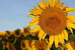 Big_sunflower_2