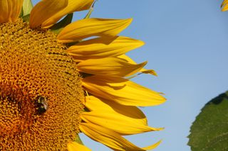 Big_sunflower_3